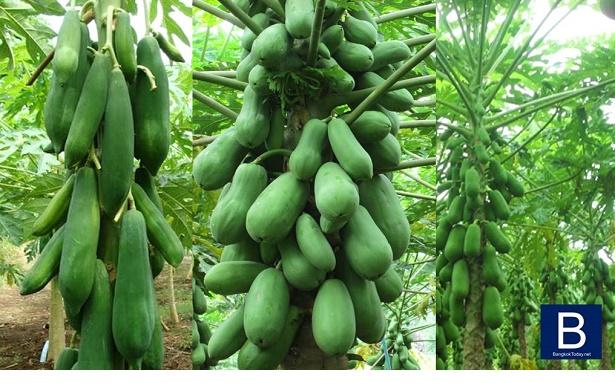 วิธีปลูกมะละกอ ให้ได้ผลผลิตดี เอาไว้กิน ไว้ขาย